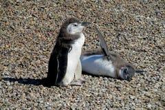 Twee grappige pinguïnen Stock Foto