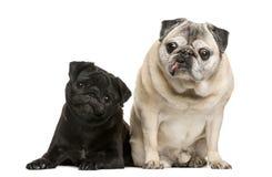 Twee grappige Pugs Royalty-vrije Stock Afbeeldingen