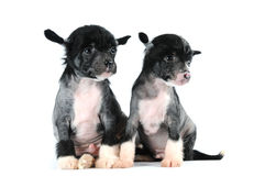 Twee grappige puppy die op wit worden geïsoleerdm Stock Foto's