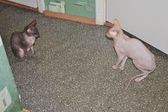 Twee grappige sfinxkatten Dierlijke achtergrond De ruimte van het exemplaar stock afbeelding