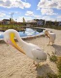 Twee grappige witte Pelikanen dichtbij pool Royalty-vrije Stock Foto