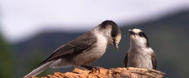 Twee Gray Jay Birds Wildlife Camp Robbers concurreren voor Voedsel Stock Foto's