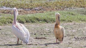 Twee Great White-Pelikanen het Krassen royalty-vrije stock fotografie