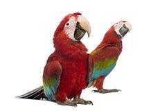 Twee Green-winged Ara's, 1 éénjarige Royalty-vrije Stock Afbeeldingen