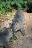 Twee Grey Fox Kit (Urocyon-cinereoargenteus) komen samen Stock Foto