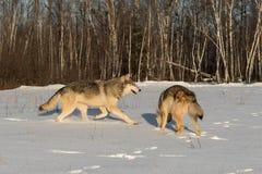 Twee Grey Wolves Canis wolfszweer op Sneeuwgebied royalty-vrije stock afbeeldingen