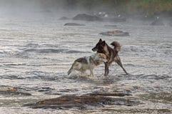 Twee Grey Wolves (Canis-wolfszweer) Spel in Rivier Royalty-vrije Stock Afbeeldingen