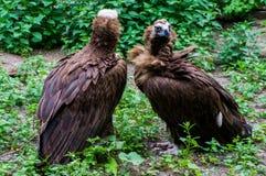 Twee Griffons in de dierentuin Stock Foto's