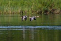 Twee grijze ganzen die anser anser over groene waterspiegel vliegen Royalty-vrije Stock Fotografie