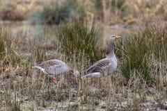 Twee grijze ganzen die anser anser zich in natuurlijk riet in de winter bevinden Stock Foto