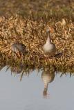 Twee grijze ganzen die anser anser zich op kustlijn bevinden Stock Afbeelding