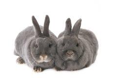 Twee grijze konijnen Stock Afbeelding