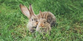 Twee grijze konijnen die in het gras zitten royalty-vrije stock afbeeldingen