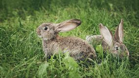 Twee grijze konijnen die in het gras zitten royalty-vrije stock foto