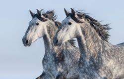 Twee grijze paarden - portret in motie Royalty-vrije Stock Afbeeldingen