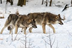 Twee grijze wolfs, Canis-wolfszweer, die aan het recht lopen, terwijl ter plaatse het snuiven Sneeuw de winterbos stock foto