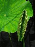 Twee groene bladeren stock foto's