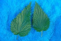 Twee groene bladeren van netel op blauwe wol royalty-vrije stock afbeelding