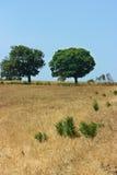 Twee groene bomen op geel gebied Royalty-vrije Stock Foto's