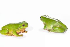 Twee groene boomkikkers Stock Afbeelding