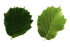 Twee groene die bladeren van hazelaar aan witte kant als achtergrond, bovenkant en bodem van blad wordt geïsoleerd stock fotografie
