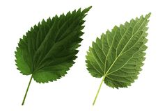 Twee groene die bladnetel aan witte kant als achtergrond, bovenkant en bodem van blad wordt ge?soleerd stock foto