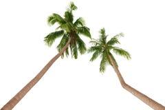 Twee groene die palmen op witte achtergrond worden geïsoleerd Royalty-vrije Stock Afbeeldingen
