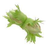 Twee groene geïsoleerdea noten Royalty-vrije Stock Afbeeldingen