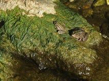 Twee groene kikkers op de rots stock fotografie