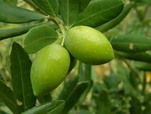 Twee groene olijven (macro) Royalty-vrije Stock Afbeeldingen