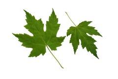 Twee groene platan bladeren. Stock Foto's