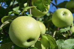 Twee groene rijpe appelen op een boomtak Stock Afbeelding