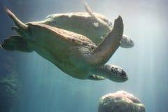 Twee Groene Zeeschildpadden Stock Fotografie