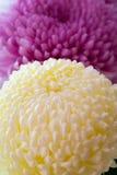 Twee groot chrysanten, roze en wit-geel. Stock Afbeeldingen