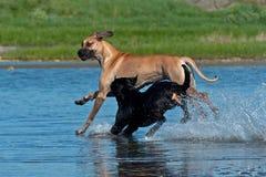 Twee groot hondenspel op het strand royalty-vrije stock fotografie