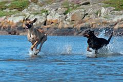 Twee groot hondenspel op het strand stock afbeeldingen