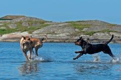 Twee groot hondenspel op het strand stock afbeelding