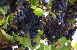 Twee grote bossen van rode wijndruiven hangen van een wijnstok, hangen de Rijpe druiven op de wijnstok royalty-vrije stock afbeeldingen