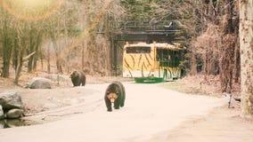 Twee grote bruin draagt lopend op weg met de achtergrond van de reizigersbus Royalty-vrije Stock Foto's