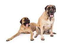 Twee grote Engelse Mastiffhonden Stock Foto