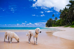 Twee grote honden op een verlaten tropisch strand Stock Foto's