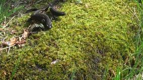 Twee Grote Kuifnewt (Triturus-cristatus) op groen de lentemos stock video
