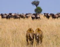 Twee grote mannelijke leeuwen op de jacht Nationaal Park kenia tanzania Masai Mara serengeti Stock Foto's