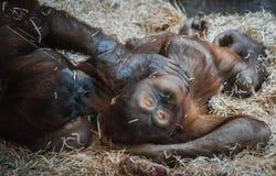 Twee grote orangoetans die op hooi liggen Stock Foto