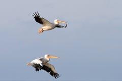 Twee grote pelikanen Stock Foto