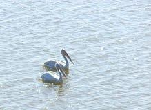 Twee Grote Witte Pelikanen Pelecanus die Onocrotalus op Waterspiegel drijven Stock Foto's
