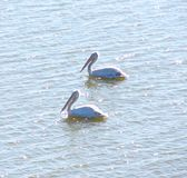 Twee Grote Witte Pelikanen Pelecanus die Onocrotalus op Waterspiegel drijven Stock Fotografie