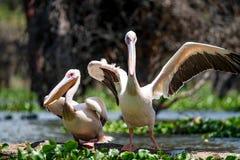Twee grote witte pelikanen of Pelecanus-onocrotalus Stock Afbeeldingen