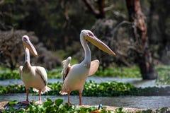 Twee grote witte pelikanen of Pelecanus-onocrotalus Stock Foto