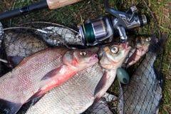 Twee grote zoetwater gemeenschappelijke brasemvissen en hengel met spoel o stock afbeelding